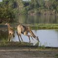 Giraffer i gryningen
