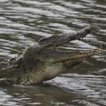 croc3