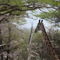 giraff i Selous