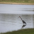Goliath heron in Selous
