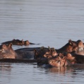Hippos in Selous
