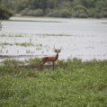 impala in Selous