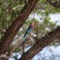 Lilac breasted roller in Selous