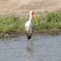 yellow billed stork in selous