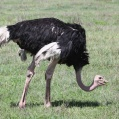 common ostrich - Masajstruts -  in Ngorongoro