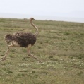 common ostrich - Masajstruts -  in serengeti