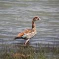 egyptian goose - Nilgås