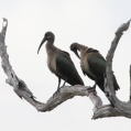 hadada ibis - Hagedashibis