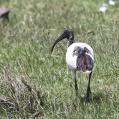 sacred ibis - Helig ibis