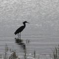 black egret - Svarthäger -selous