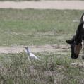cattle egret - Kohäger - in bagamoyo