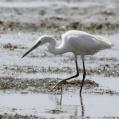 dimorphic egret - Madagaskarrevhäger - saadani