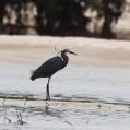dimorphic egret - Madagaskarrevhäger - Dar es Salaam