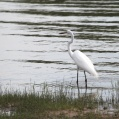 great egret - Ägretthäger