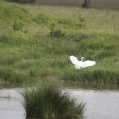 intermediate egret - Mellanhäger