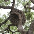 hamerkop nest - Skuggstork rede