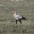 secretary bird - Sekreterarfågel
