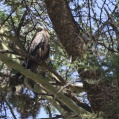 black kite in the tree - Brun glada