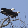 african fish eagle - Skrikhavsörn - pair