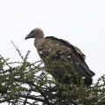 ruppels griffon vulture - Rüppellgam