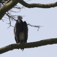 white headed vulture - Vithövdad gam