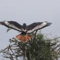 augur buzzard -Augurvråk- landning