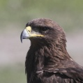 steppe eagle close up - Stäppörn