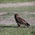 steppe eagle - Stäppörn