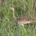 black bellied bustard - Svartbukad trapp in saadani