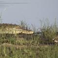 common ringed plover - Större strandpipare