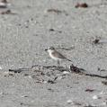 white fronted plover imm saadani - Vitpannad strandpipare