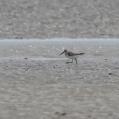 broad billed sandpiper - Myrsnäppa