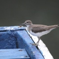 common sandpiper - Drillsnäppa