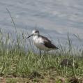 marsh sandpiper - Dammsnäppa