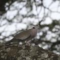 african mourning dove - Angolaturturduva