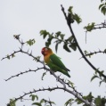 fischers lovebird - Rödhuvad dvärgpapegoja