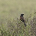 black coucal - Svart sporrgök