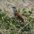 white browed coucal - Vitbrynad sporrgök