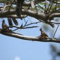 speckled mousebird - Vitkindad musfågel