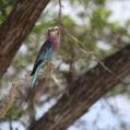lilac breasted roller selous - Lilabröstad blåkråka
