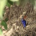 malachite kingfisher - Malakitkungsfiskare