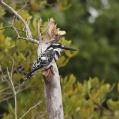 pied kingfisher - Gråfiskare