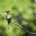 white throated bee eater - Vitstrupig biätare