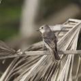 african grey flycatcher - Askgrå flugsnäppare