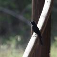 southern black flycatcher - Drongoflugsnappare