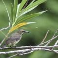 amethyst sunbird - Ametistsolfågel - female