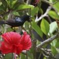 amethyst sunbird - Ametistsolfågel - male