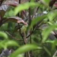 collared sunbird - Halsbandssolfågel