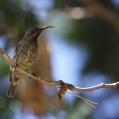 unidentified sunbird Dar es Salaam