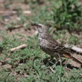 rufous tailed weaver - Serengetivävare